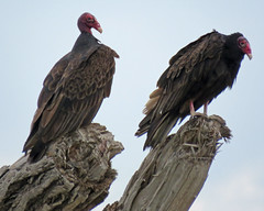 IMG_6591 (lbj.birds) Tags: kansas nature flinthills wildlife bird vulture turkeyvulture