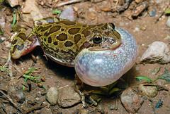 lowland burrowing tree frog Smilisca fodiens (Michael Cravens) Tags: lowland burrowing tree frog smilisca fodiens arizona