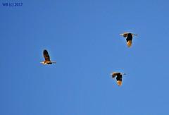 DSC_0103n wb (bwagnerfoto) Tags: vörös gém ardea purpurea purpurreiher purple heron bird pacsmag regöly madár vogel fly nature natur