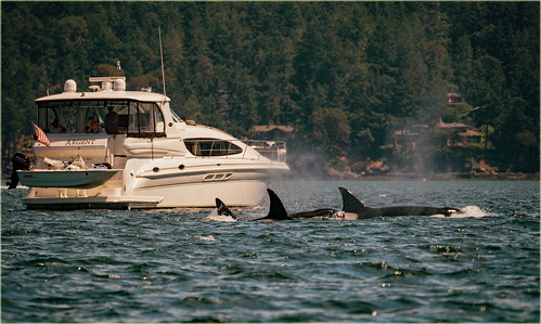 three orca whales killer boat yacht pacific ocean