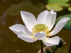 White Lotus (@Jimweaver) Tags: white lotus lily flower bloom pond yilan taiwan lake lotung 池 荷花 蓮 water july 湖 宜蘭 羅東 park 公園