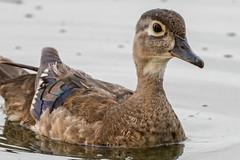 LadyDuck (jmishefske) Tags: wood mother duck nikon d500 milwaukee pond 2017 lagoon westallis wisconsin july park greenfield female county hen