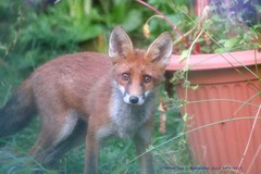 Fight or Flight......... (law_keven) Tags: fox foxes mammals wildlife photography catford london england uk gardens urbanfox redfox wildlifephotography vulpes vulpesvulpes