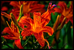 Flaming Stars  in late afternoon Sun (scorpion (13)) Tags: daylily orange nature plant photoart frame droplets buds color crearive rain late afternoon garden summer few drops