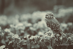 Somewhere in a vineyard... (Thelma Gatuzzo) Tags: buho thelmagatuzzo chouettedesterriers riograndedosul owl oiseaux nature ave thelmagatuzzo© kaninchenkauz lechucitavizcachera vinhedo burrowingowl lechucitadecampo voegel brasil wildlife lechucitapampa 2017 thelmagatuzzophotography© bentogonçalves steenuil silvestre raptor chevêche des terriers coruja litteowl fauna athenecunicularia corujaburaqueira athene cunicularia chevêchedesterriers