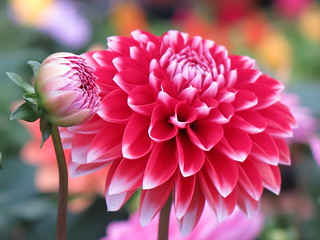 Hey Bud-dy, have a lovely dahlia ... :-)