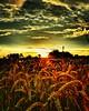 Kornfeld... (christineho4) Tags: sonne sonnenuntergang weizen weizenfeld himmel sky wolken clouds licht abendlicht