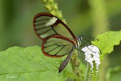 the glasswinged butterfly or glasswing (K.Verhulst) Tags: glasvlinder vlinders vlindertuin artis amsterdam butterfly butterflies insect glasswingedbutterfly gretaoto glasswing