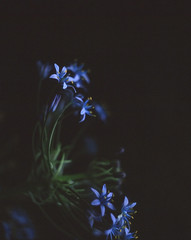The blue (bat0urav3) Tags: flower rb67 velvia slide film low light blues