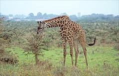 giraffe (Ron Layters) Tags: giraffe nairobinationalpark acacia tree bush grassplain grass plain animals nairobi kenya africa slidefilmthenscanned slide transparency fujichrome velvia leica r6 leicar6 ronlayters