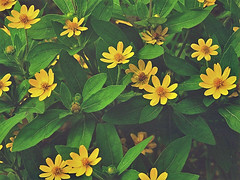 Yellow and green (tanreineer) Tags: nature leaves petals colors plants life green yellow nikonp900