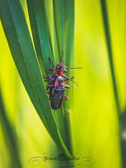 DSC_2917 (Franck.H Photography) Tags: macro insectes araignée coccinelle