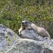 Marmotte (JFB31) Tags: marmotte