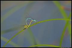 DSC_5083 -07-08 - 1- Erythromma lindenii (r.zap) Tags: libellule erythrommalindenii rzap parcodelticino