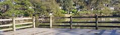 Straw-necked ibis take flight (ajft) Tags: bird ibis strawneckedibis threskiornisspinicollis aus australia geo:lat=3790794865 geo:lon=14513831607 geo:zip=3800 geotagged monashuniversity nottinghill victoria