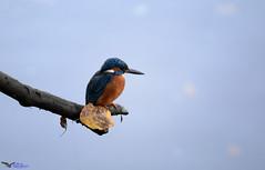 Juvenile Kingfisher (Explored). (spw6156 - Over 5,666,110 Views) Tags: juvenile kingfisher hard back light iso 800 cropped copyright steve waterhouse explored