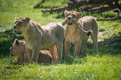 Les trois lionnes (Oric1) Tags: 22 canon côtesdarmor france tregomeur armorique asian asie breizh bretagne brittany eos félin lion lionnes zooparc