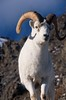 Dall sheep ram on the ridge (izurutoki) Tags: dall sheep ram white winter mountain dallssheep yukonwildlife
