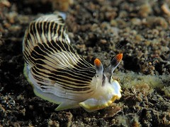Armina semperi (chaloklum) Tags: armina semperi diving dive sulawesi lembeh scuba