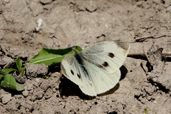 Small white (f) (scubahenlik) Tags: butterfly denmark brøndbyskoven insect nature pieridae