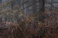 Pomp (jellyfire) Tags: billingsford distagont3518 eastanglia eastofengland forest greatbritain landscape landscapephotography sony sonya7r suffolk winter woodland ze zeissdistagont18mmf35ze atmospheric branches broadleaf copse countryside deciduous ecology fog green growth knettishallheath leaves leeacaster life mist norfolk rural suffolkwildlifetrust trees trunk unitedkingdom woods wwwleeacastercom zeiss