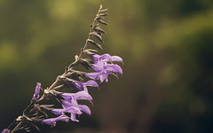 Treinta y siete velitas (akigabo) Tags: montreal nature flora cumpleaños maelia flower 7dwf canon t5i 700d 100mm happy birthday dof hbdmae felizcumplemae akigabo