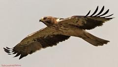 Booted eagle close flight (Ted Humphreys Nature) Tags: booted eagle eagles raptors birdsofprey spain extremadura tedhumphreysnature