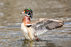 Wood Duck (Linda Martin Photography) Tags: male ottawa wildlife woodduck nature birds ontario animals mudlake aixsponsa canada coth ngc npc sunrays5 coth5