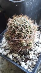 Sulcorebutia candiae. Julio 2017 (garconwii) Tags: sulcorebutia candiae plant cactus