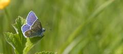 Common Blue-9847 (WendyCoops224) Tags: springwatch 100400mml 80d canon eos localbirdswildlife ©wendycooper common blue