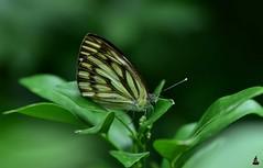 Butterfly {Explored} (rajnishjaiswal) Tags: butterfly butterflysittingonleaf park macro plant beautifulnature nature green yellow black grey