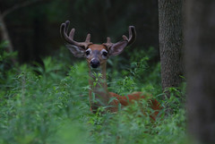 White-tailed Buck (ashockenberry) Tags: deer buck whitetailed forest nature ontario ontariowildlife ontarionature