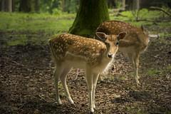 Bambi (hph46) Tags: deutschland germany niedersachsen zoo wildpark schwarzeberge rehe damwild sony alpha7r canonef7020014lisusm