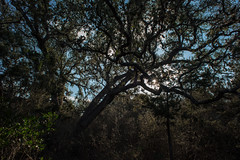 Forest - Government Canyon State Recreation Area - Bexar County - Texas - 12 February 2017 (goatlockerguns) Tags: live oak government canyon state recreation area bexar county texas usa unitedstatesofamerica south southern southwest nature natural woods trail starburst forest