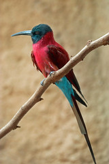 carmine bee-eater (bnbalance) Tags: nature bird carminebeeeater summer red