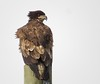Wind Blown Bald Eagle Juvenile (Shelley Penner) Tags: birds vancouverisland raptors baldeagle eagles juvenile windblown