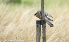 Young Kestrel (jo.angell) Tags: wild wildlife nature kestrel buckinghamshire birds of prey
