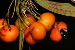 Eustrephus latifolius (andreas lambrianides) Tags: eustrephuslatifolius luzuriagaceae wombatberry australianflora australiannativeplants australianrainforests australianrainforestplants australianrainforestfruitsandseeds australianrainforestseeds australianrainforestfruits arfp qrfp vicrfp arffs orangearffs arfcp vrfp
