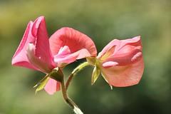 Sweet pea (AngharadW) Tags: stem indoor outdoor green peach pink angharadw dof macro flower sweet sweetpea
