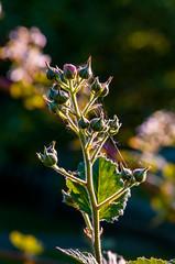 (ErrorByPixel) Tags: macro 100mm closeup bokeh nature flora flowers blossom pentax k5 errorbypixel handheld pentaxart