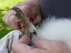Ringing! (Ivan) Tags: owlet baby owl world trust ring talon foot