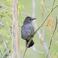 Grey Catbird (dcstep) Tags: bird catbird greycatbird aurora colorado unitedstates us n7a5978dxo canon5dmkiv ef500mmf4lisii allrightsreserved copyright2017davidcstephens dxoopticspro114 cherrycreekstatepark