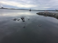 It WAS pigeons! (aaronchakraborty) Tags: pigeons reflection water harbour pictou
