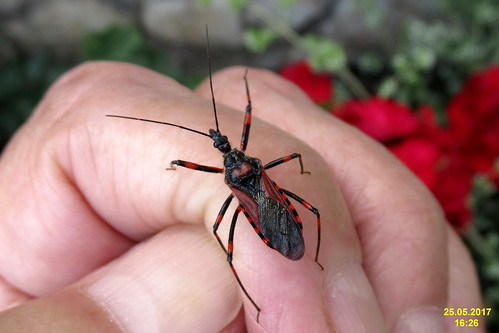 Red assassin bug (MakGi)