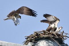 125 (GJSmith Photography) Tags: osprey gjsmith birds nikon d750 200m 500m clutch nest birding 500mm uper telephoto