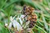 HoneyBee-0011.jpg (vorneo) Tags: classinsecta honeybee kingdomanimalia europeanhoneybee bee familyapidae wild westernhoneybee genusapis phylumarthropoda speciesamellifera binomialnameapismellifera orderhymenoptera