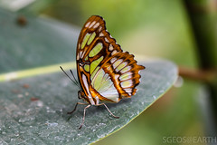 20170715-IMG_7386 (SGEOS@EARTH) Tags: vlindertuin vlinder vlinders butterfly butterflies vlindersaandevliet observer colorfull insects nectar indoor nature wildlife canon macro 100mm