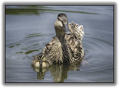 Mother and duckling (jsleighton) Tags: duck mother bird duckling baby pond swim downing park newburgh ny summer