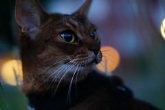 A shot in the dark (DizzieMizzieLizzie) Tags: abyssinian aby beautiful wonderful lizzie dizziemizzielizzie portrait cat chats feline gato gatto katt katze katzen kot meow mirrorless pisica sony a6500 animal pet