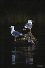 Watchtower (>>Marko<<) Tags: puula kangasniemi eteläsavo suomi finland nature bird lintu lokki water vesi seagull gull